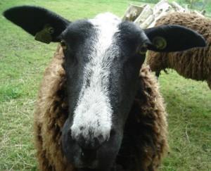 Biologisch schapenvoer voor onze schapen