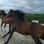 Bio-Ron biologische diervoeders voor vitale paarden